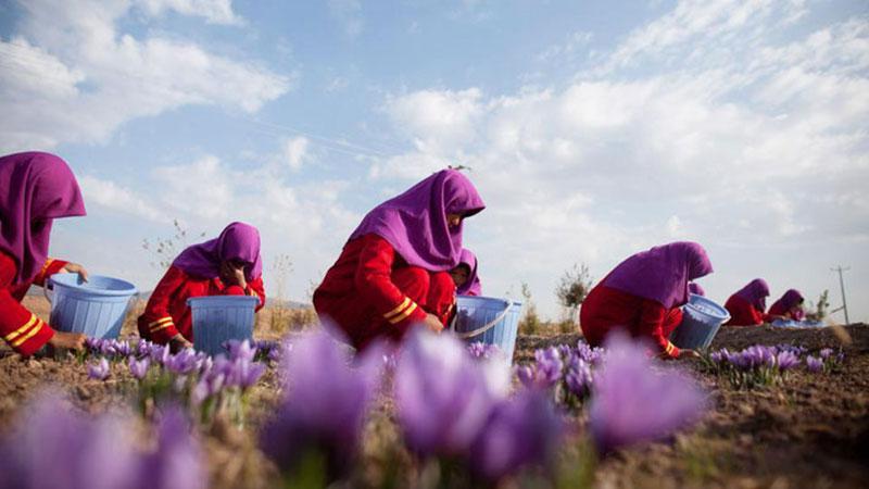 Nhụy hoa nghệ tây Iran salar khiz cao cấp loại 2g NT009 5